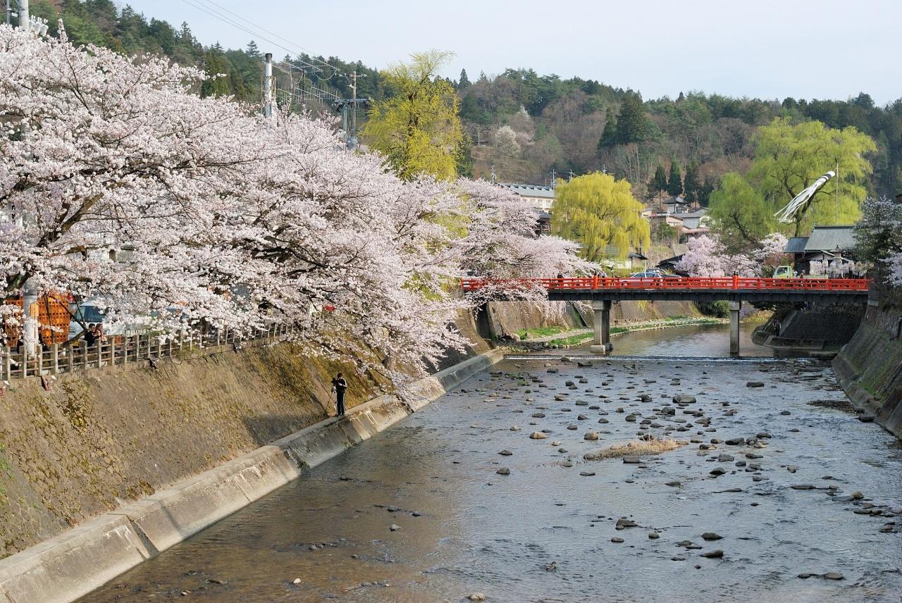 桜と高山祭