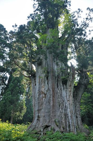 石徹白の大杉