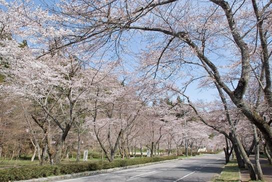 武儀紀行 第1回 千本桜