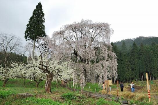 信越名瀑紀行 最終回 水中のしだれ桜